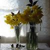 daffodils 060