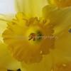 daffodils 052