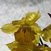 daffodils 055