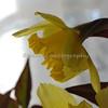 daffodils 073