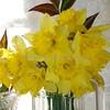 daffodils 042