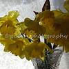 daffodils 057