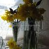 daffodils 081