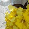 daffodils 087