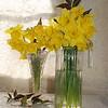 daffodils 036