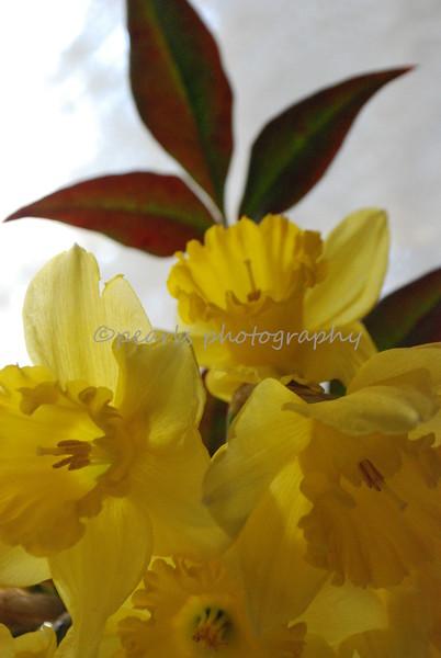 daffodils 048