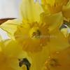 daffodils 049