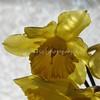 daffodils 054