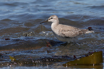 Red Knot (Winter Plumage)