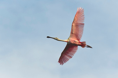 Roseate Spoonbill Eco Pond, Everglades National Park Flamingo, Florida © 2012