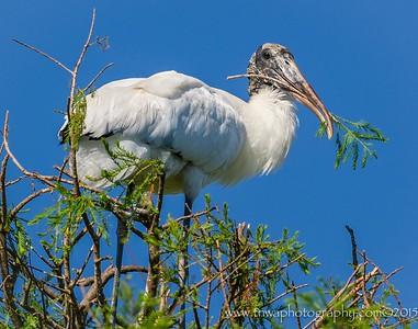 Nest Tending Wood Stork  Alligator Farm, St. Augustine, FL © 2015