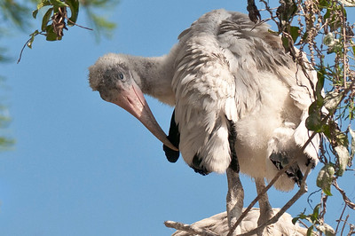 Young Woodstork Preens Itself Wesley Chapel, Florida © 2012