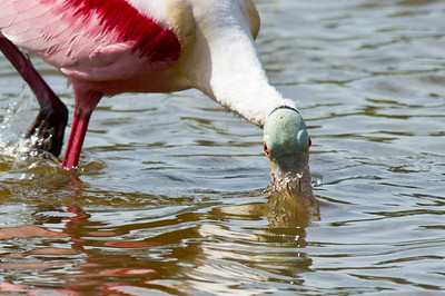 Power Feeder Roseate Spoonbill, in full breeding plumage, Power Feeding Eco Pond, Flamingo, Everglades National Park, Florida © 2012
