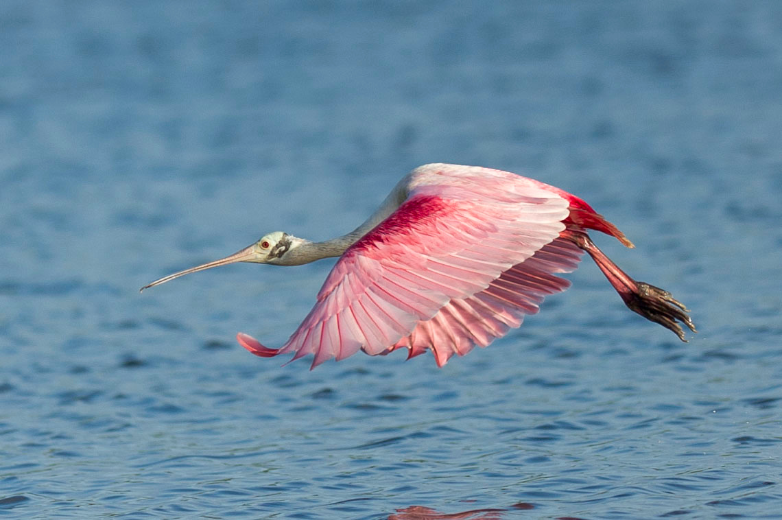 Roseate Spoonbill Fly-By Eco Pond, Flamingo, Everglades National Park Florida © 2012