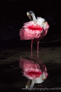 Reflective Beauty Roseate spoonbill in breeding colors and plumage Alligator Farm, St. Augustine, FL © 2015