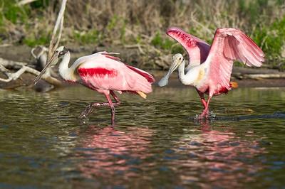 Roseate Spoonbills Eco Pond, Everglades National Park Flamingo, Florida © 2012