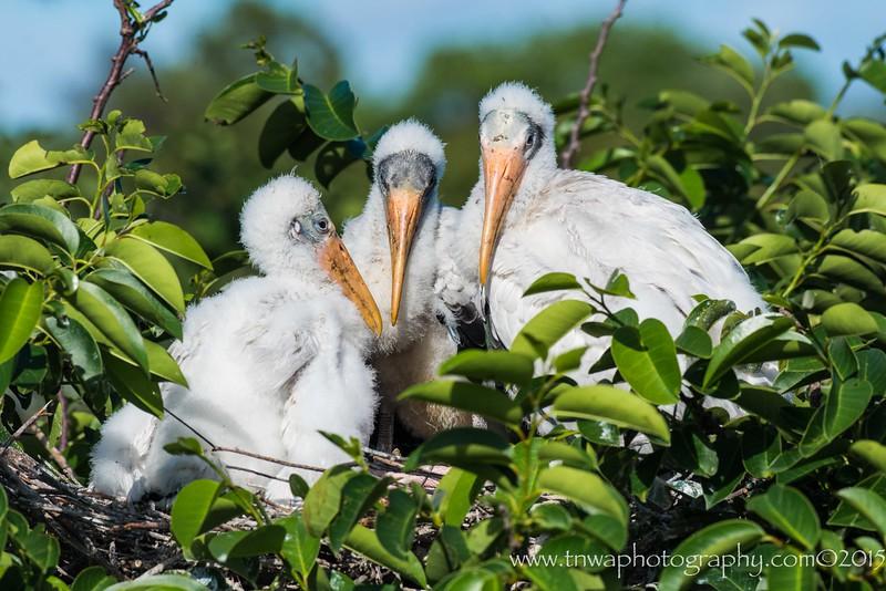 The Three Amigos Wood Stork Siblings wait patiently at nest Wakodahatchee Wetlands, Delray Beach, FL © 2015