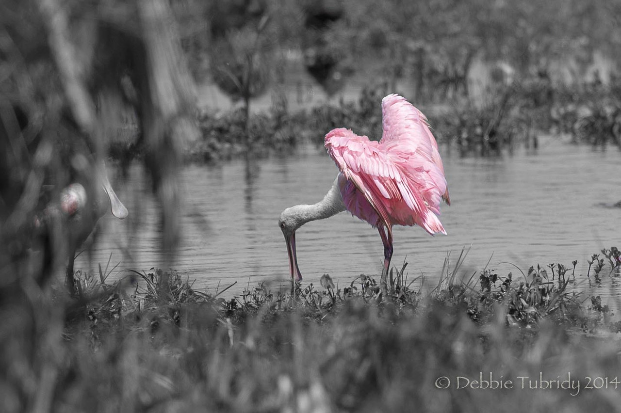 The Heart of the Roseate Spoonbill Orlando Wetlands Park Orlando, Florida © 2014