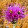 May 25, 2005, Big Bend Nat'l Park. Bees on a Texas Thistle