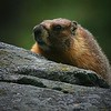 Sequoia, 5-24-07. This Marmot gave me two nice opportunities to take a photo of him lying on top of the rock, but I was not ready with the proper settings or lens on my equipment. He sat through the lens change and still hung around long enough for this glimse before scurrying off. A lesson in always being ready. The safest style, though not always convenient, is to keep the telephoto lens mounted by re-installing it after each landscape photo if wildlife shots are a possibility. A landscape shot is not usually going to change quickly, so you should always have time to put on the wide angle if needed. This gets old after you take 20 landscape photos in a row! The perfect solution is a pro-style approach with two camera bodies with identical controls, one for each lens.
