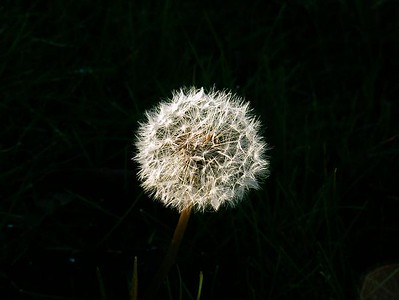 Dandelion in Sunnyvale, California, in late afternoon sun with the grass in the shadows. No special effects needed.
