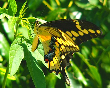 Giant Swallowtail at Anahuac NWR, summer 2005. This garden was under many feet of salt water after Hurricane Ike and was destroyed.