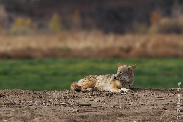 Coyote at Bosque del Apache