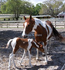 Momma and baby horse