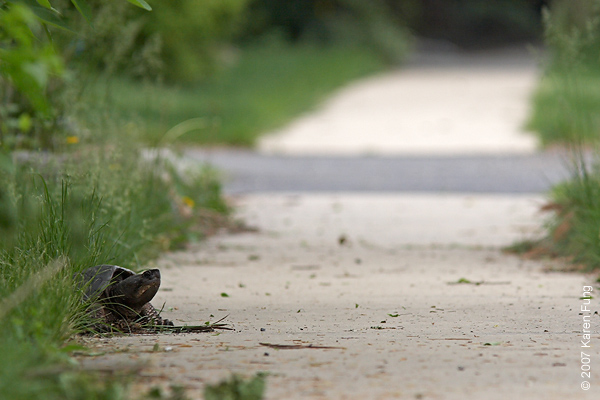 Snapping Turtle laying eggs near the Celery Farm in Allendale, NJ