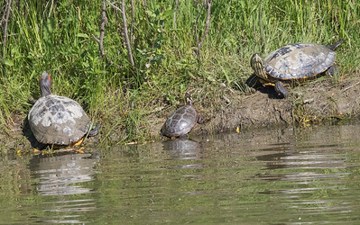 red-eared slider and painted turtles