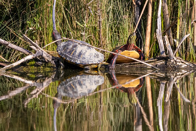 red-eared slider and painted turtle