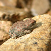 red-spotted toad, arizona