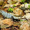 green iguana, mexico