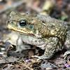 cane (aka marine) toad, belize