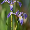 iris, louisiana