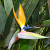 bird of paradise flower, costa rica