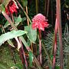 hawaiian torch ginger, costa rica