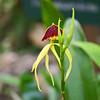 black orchid, belize