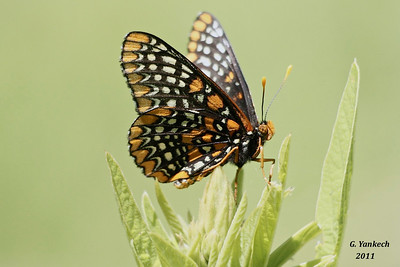 Baltimore Checkerspot, Euphydryas phaeton  Rouge Park, Cedar trail, Scarborough, Ontario  Named after the orange and black of Lord Baltimore, frequents place where its host plants, turtlehead is found