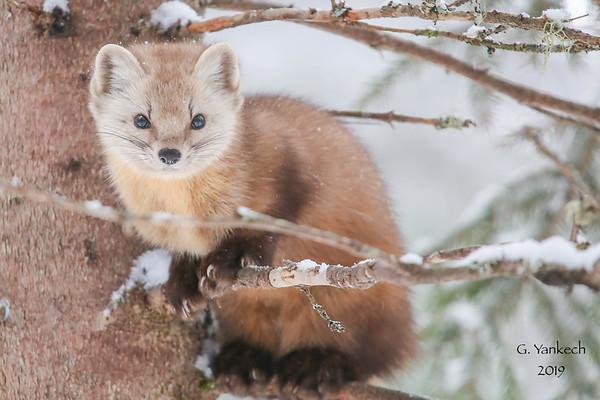 Pine Marten, Martes americana  Algonquin Provincial Park, Ontario