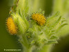 Larvas de Epilachna argus