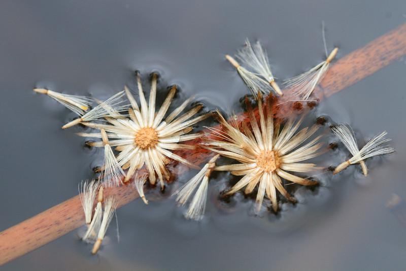 Dittrichia viscosa