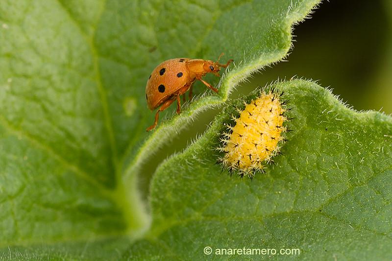 Larva y mariquita de Epilachna argus