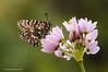 <em>Zerynthia rumina</span></em> sobre <em>Allium roseum</span></em>