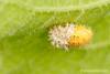 Muda de  la larva de Epilachna argus