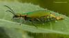 Lagorina sericea