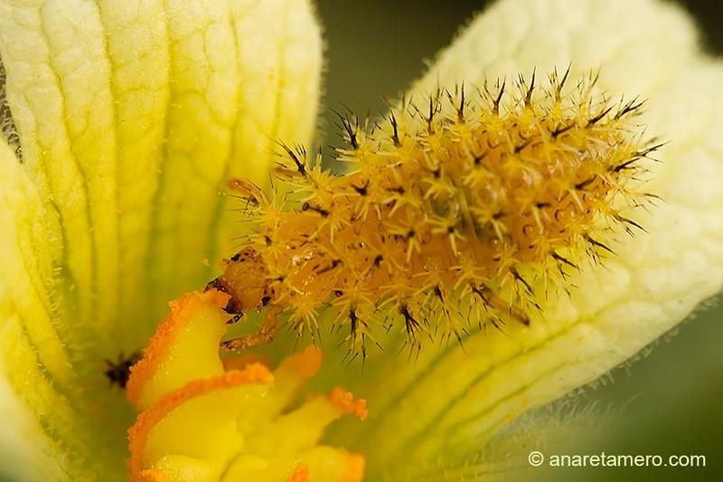 Larva de Epilachna argus