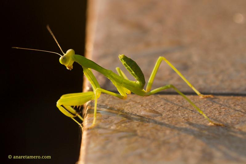 La mantis de la terraza