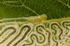 Phyllocnistis unipunctella