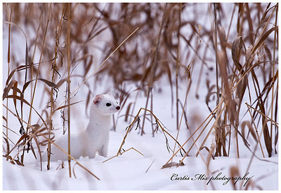 Short tailed weasel, called ermine in it's white winter coat.